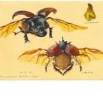 Ray Parkin Rhinocerous Beetle Image33