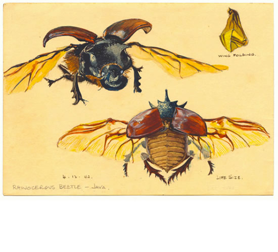 Rhinocerous Beetle- Java, 1942